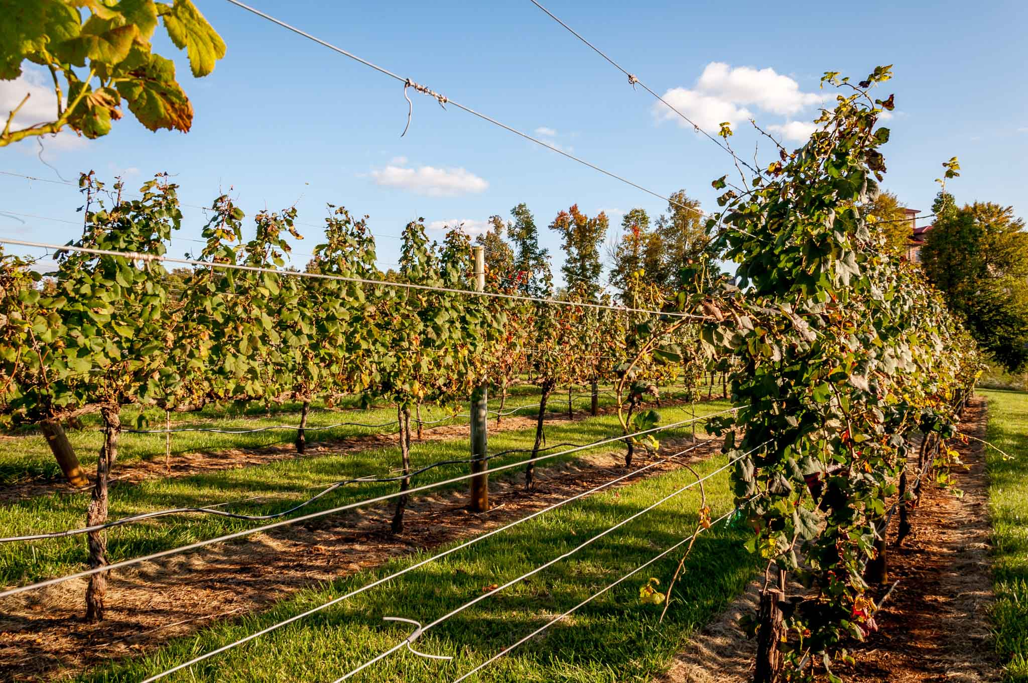 Vineyards leaves in fall colors at a Yadkin Valley winery in North Carolina