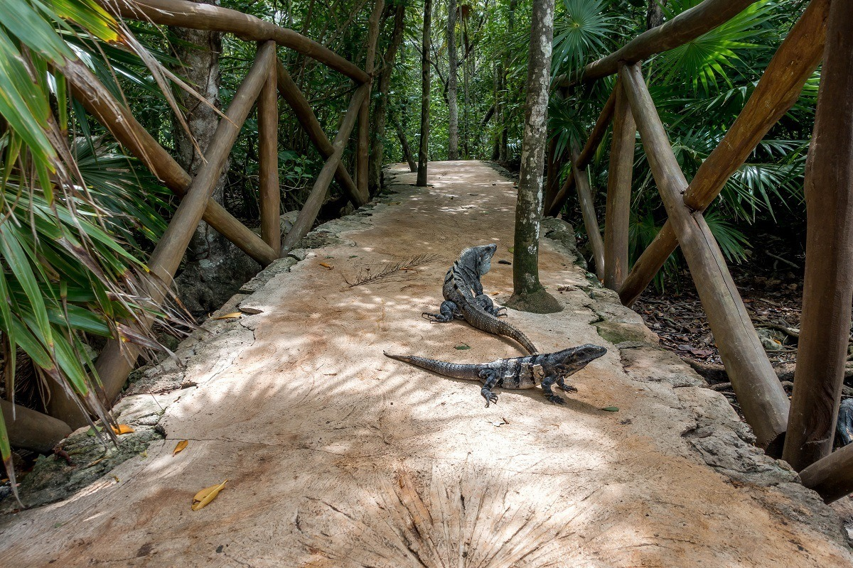 Iguanas on a trail surrounded by palm trees