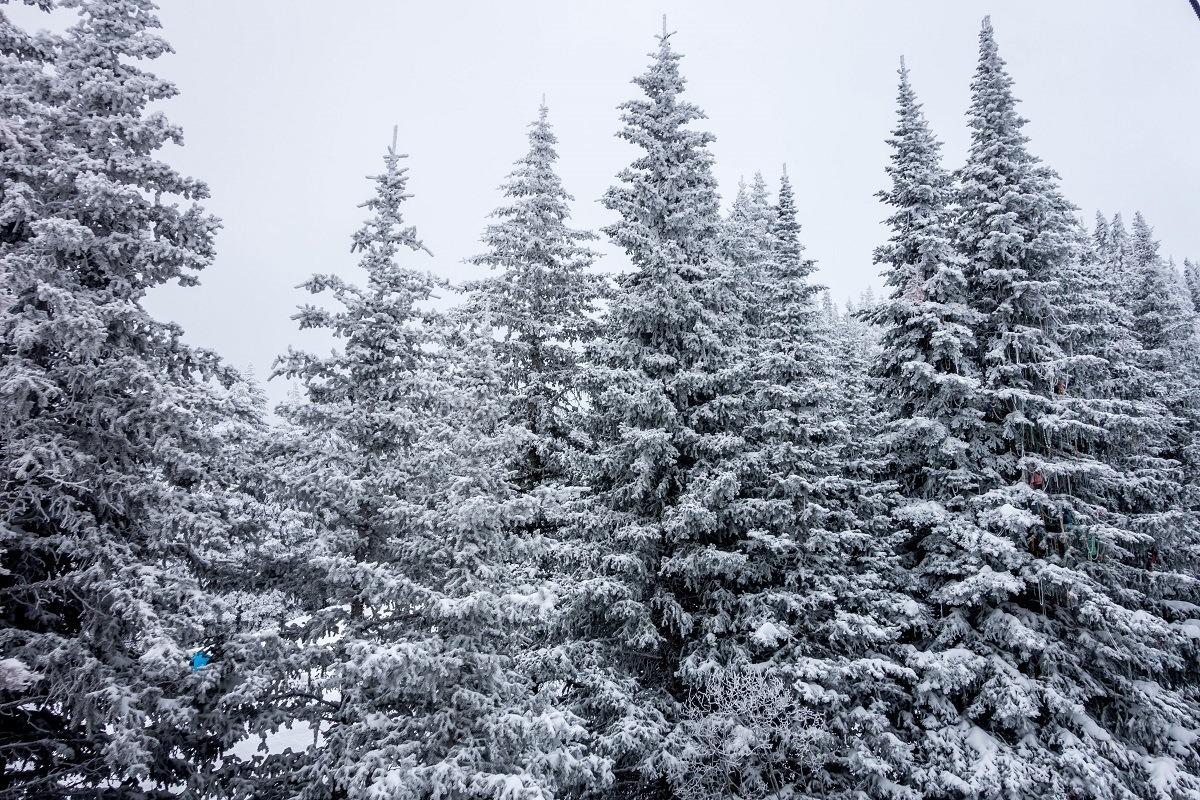 Fresh snow on the trees