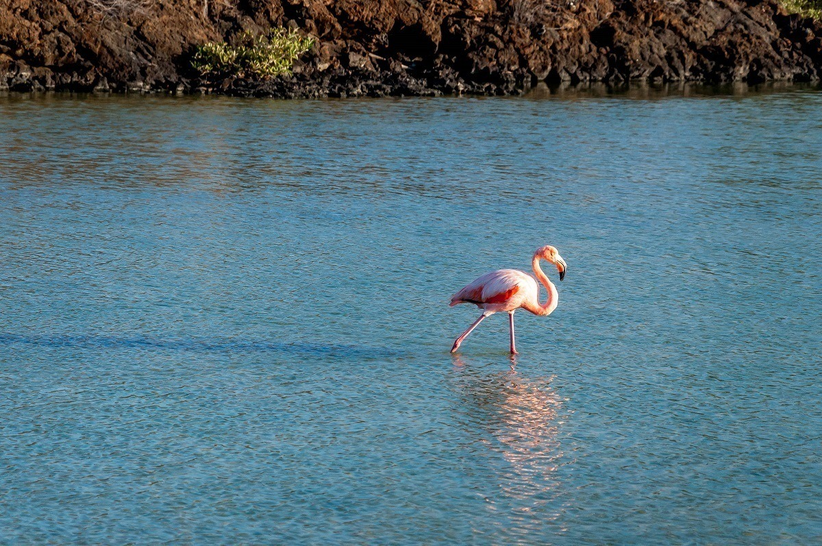 Lone flamingo standing in water