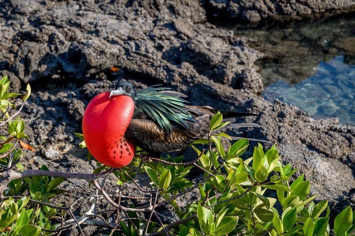 Frigate bird on Genovesa Island in the Galapagos