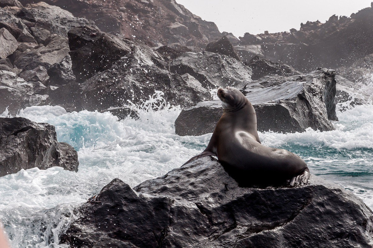 Seal on a rock with waves crashing against it