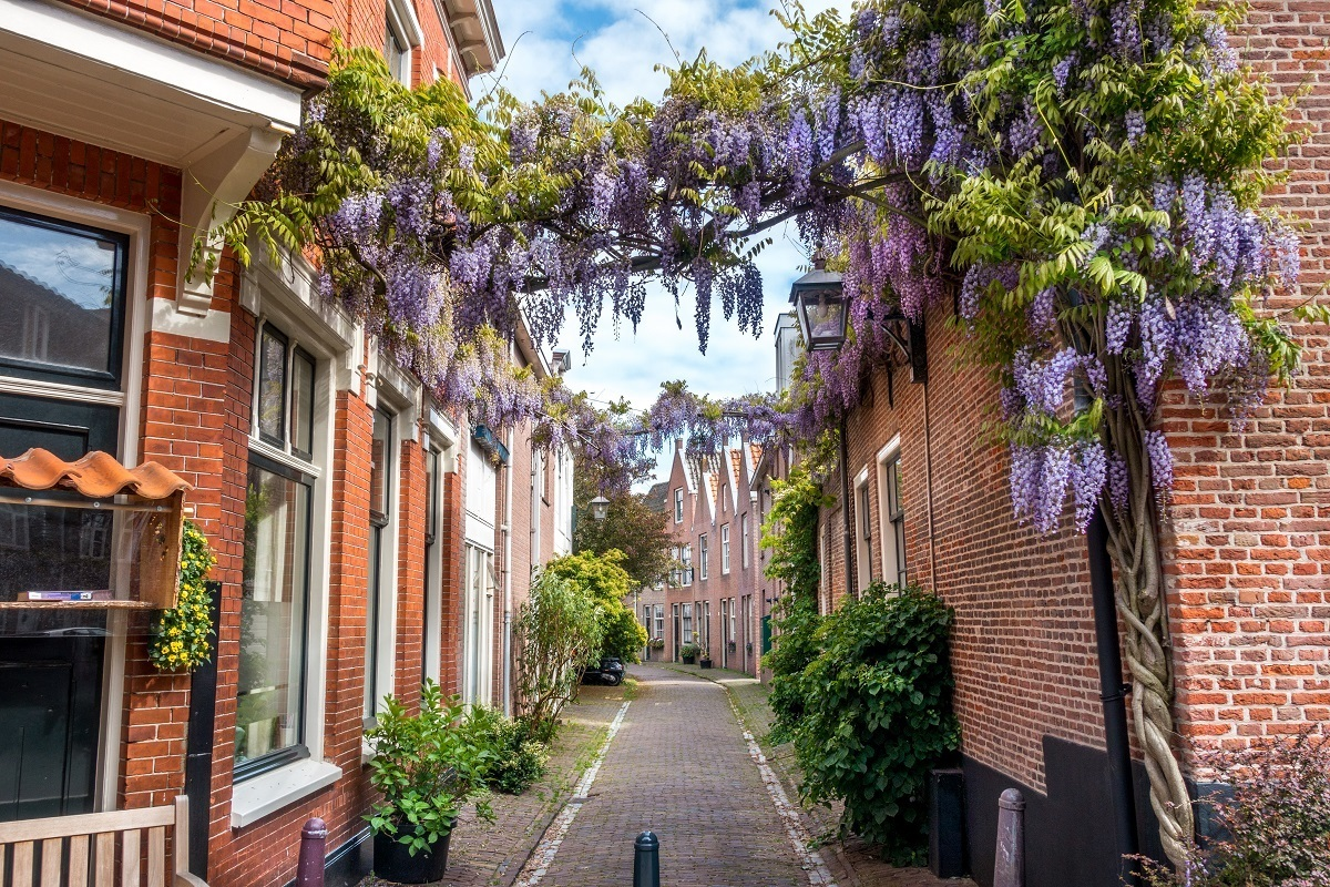 Wisteria covered street