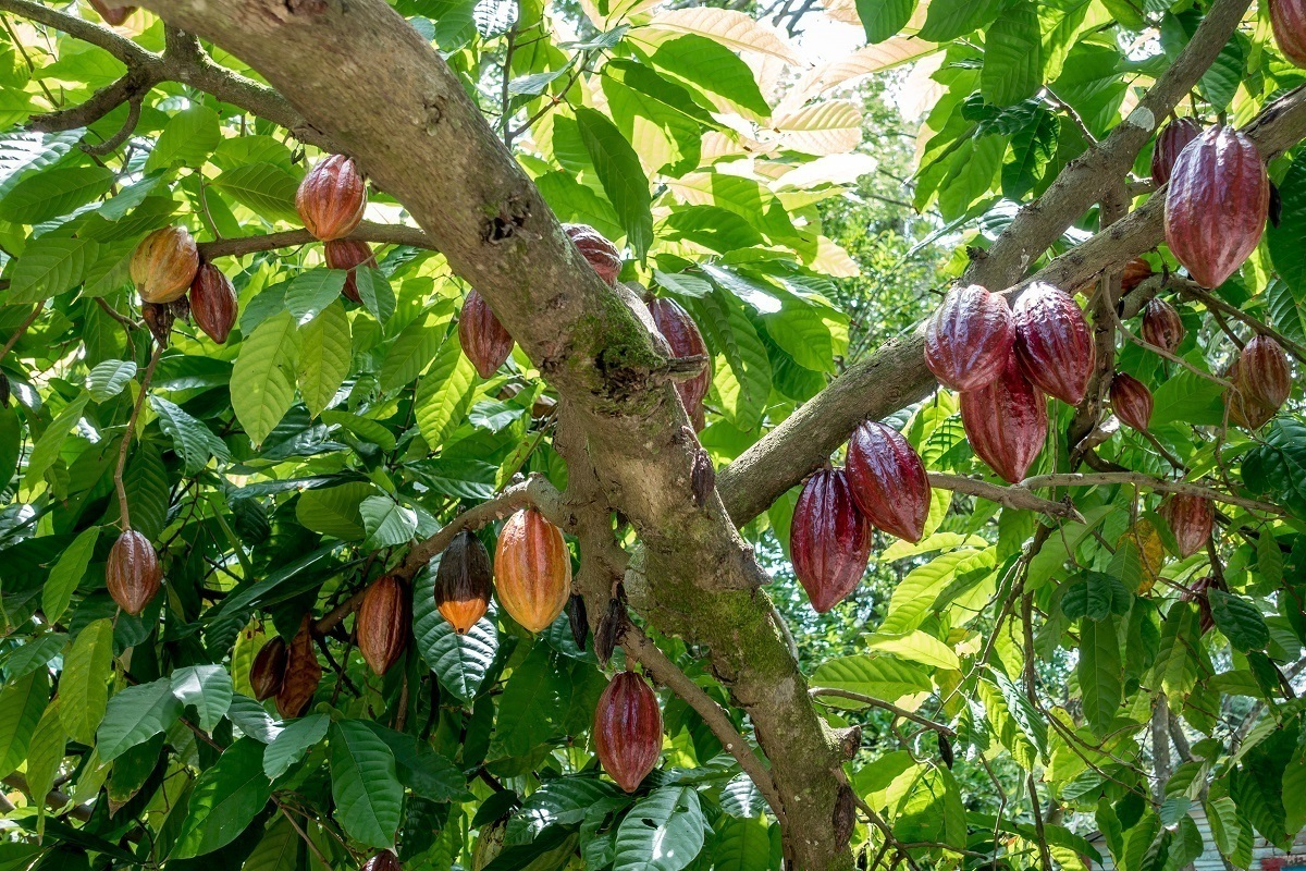 Multi-colored cacao pods hanging from trees