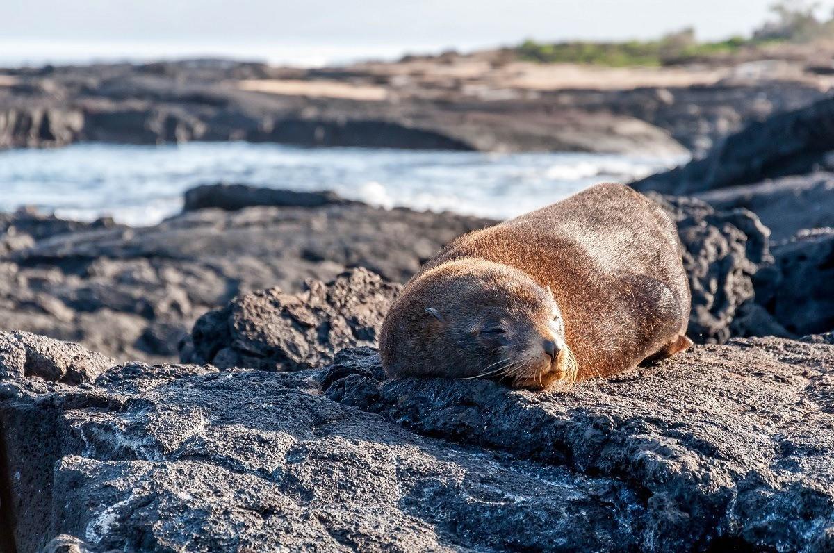 Fur seal sleeping on rocks in the Galapagos Islands
