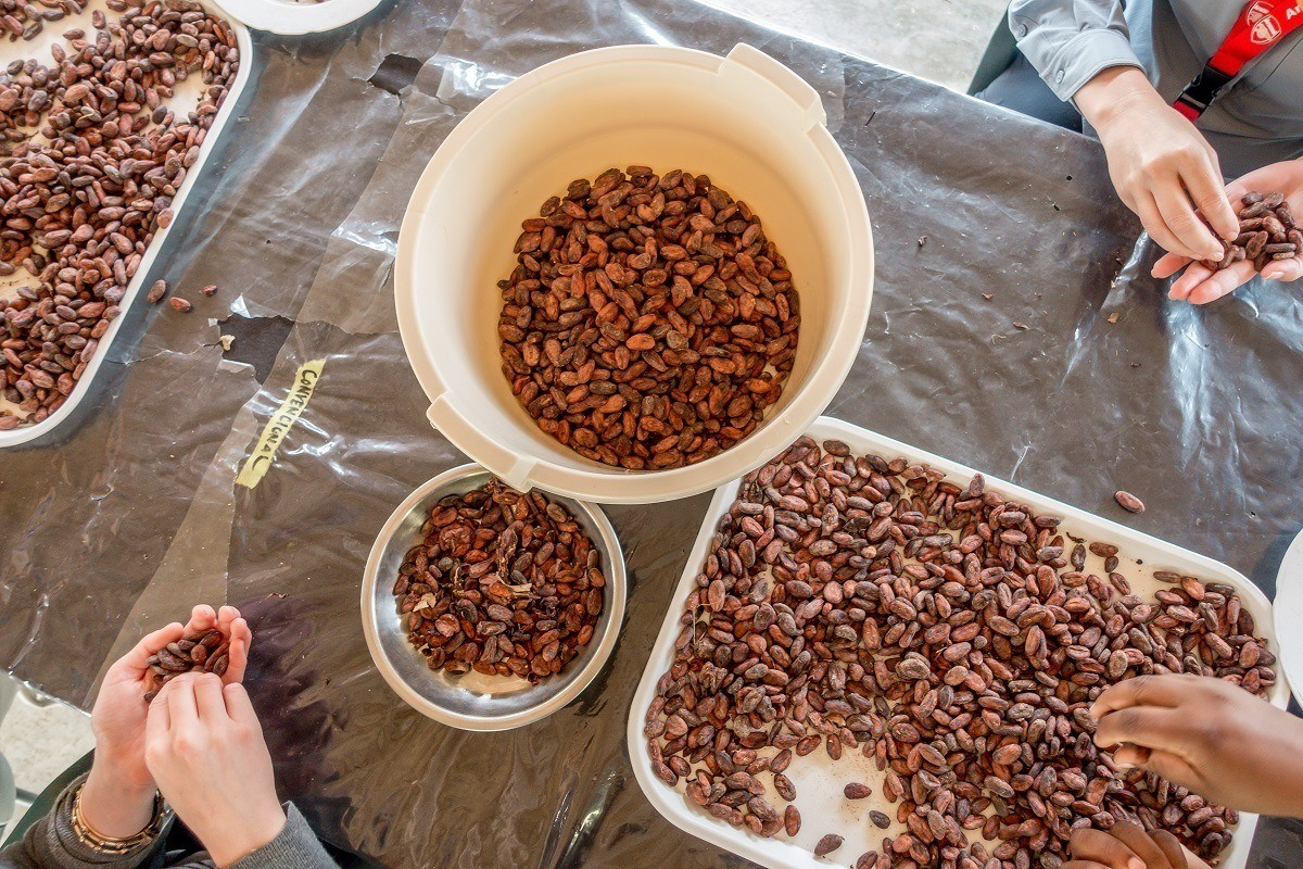 People sorting cacao beans at Chocal chocolate cooperative