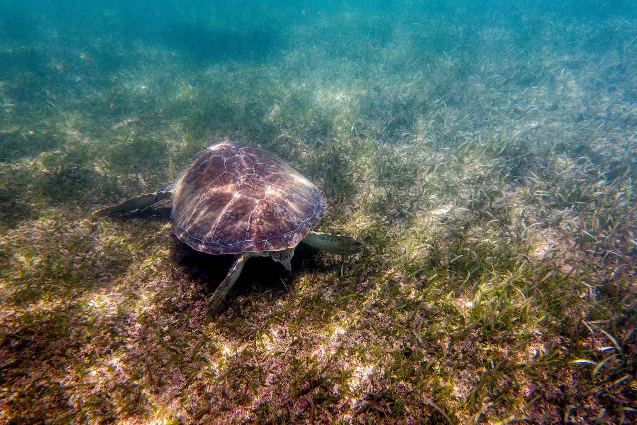 Sea turtle eating sea grass underwater