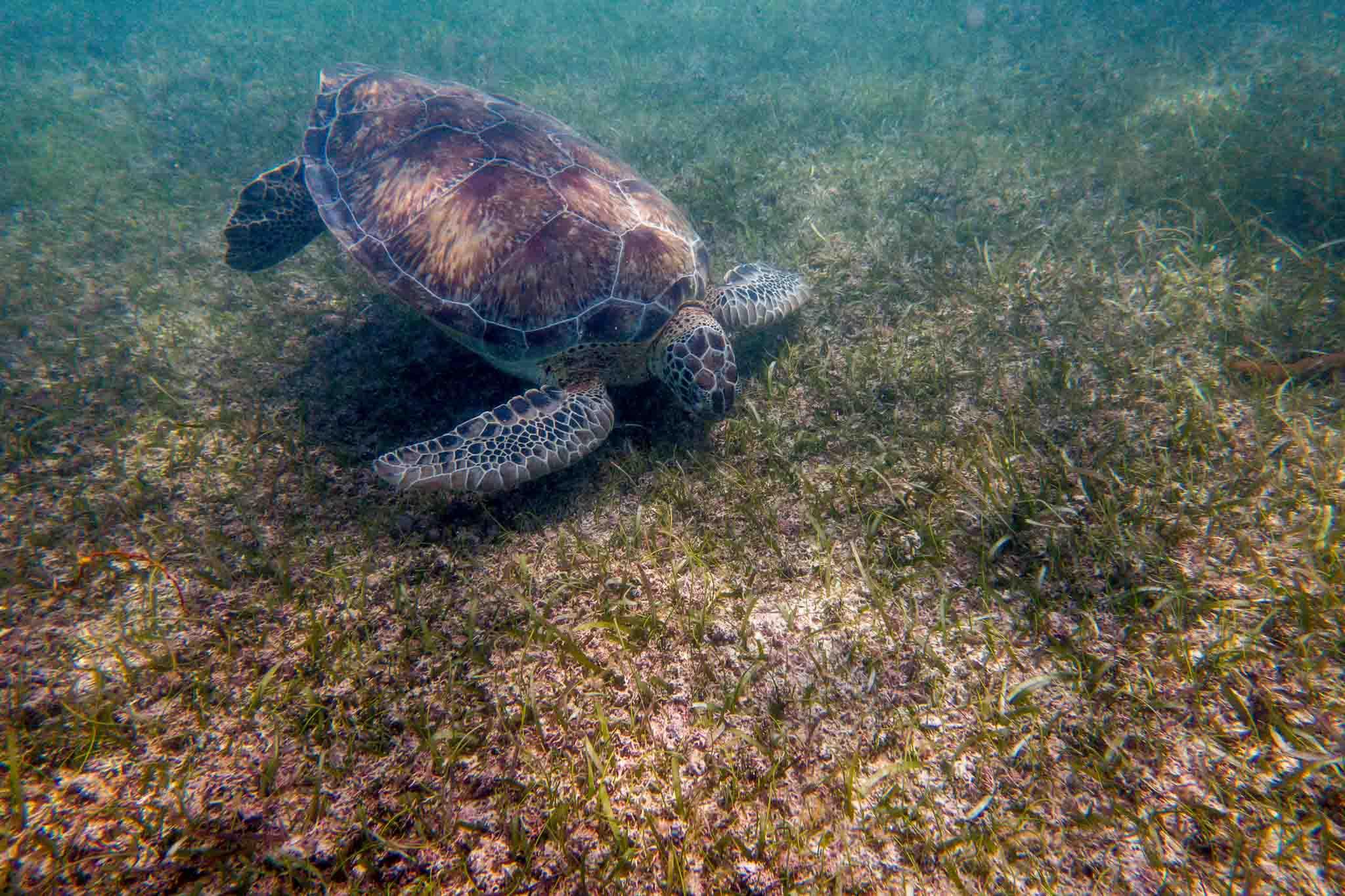 Akumal turtles feeding on the sea grass underwater