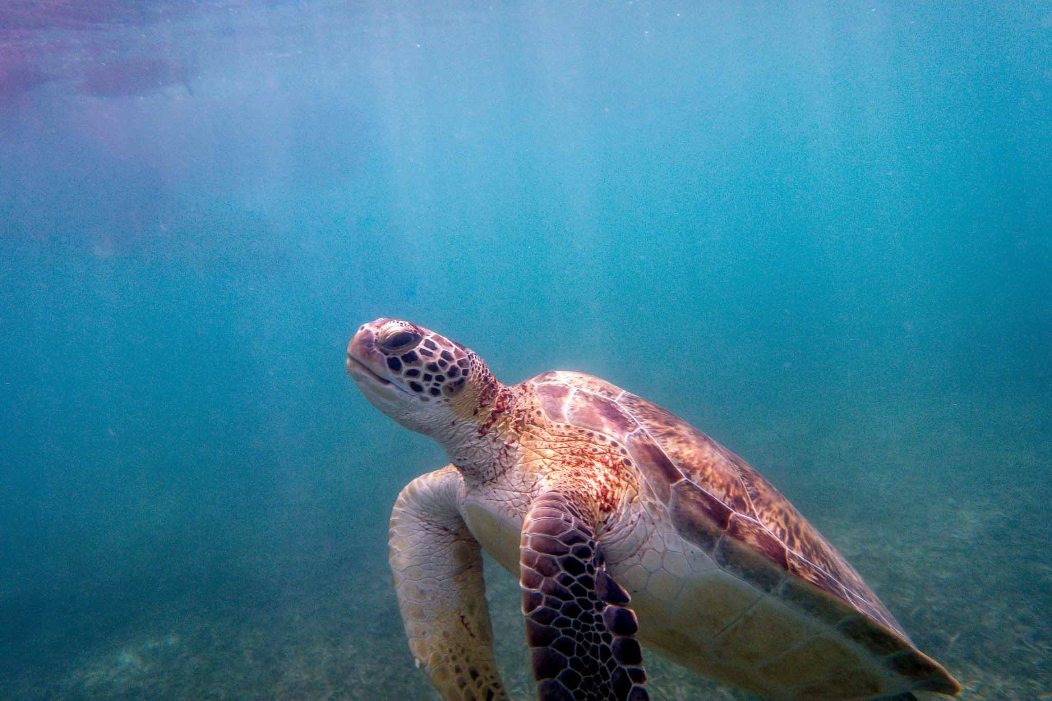 One of the Akumal turtles coming up for air during our Akumal snorkeling adventure