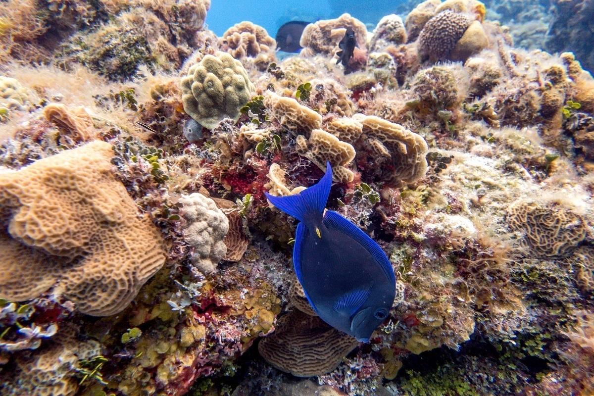 Blue tang fish on the Playacar Reef in Cozumel