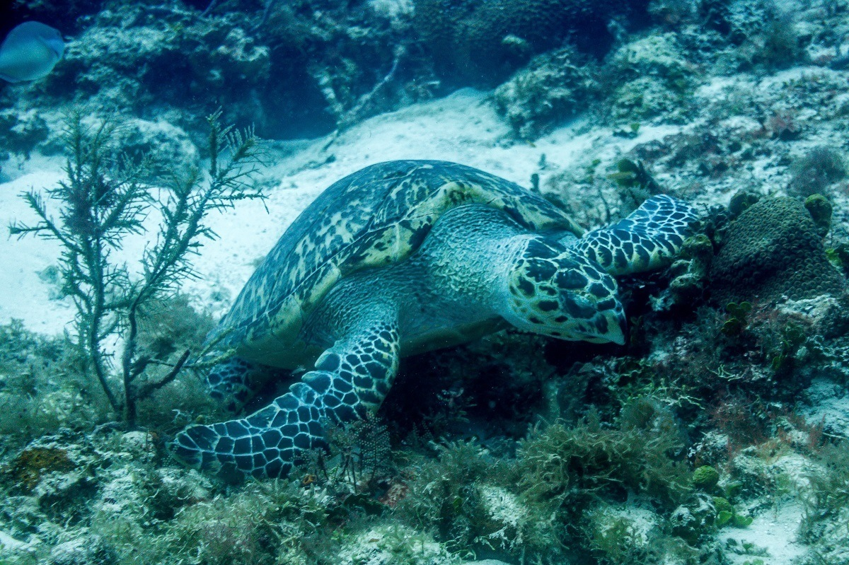 Seeing green sea turtles while scuba diving in Cozumel