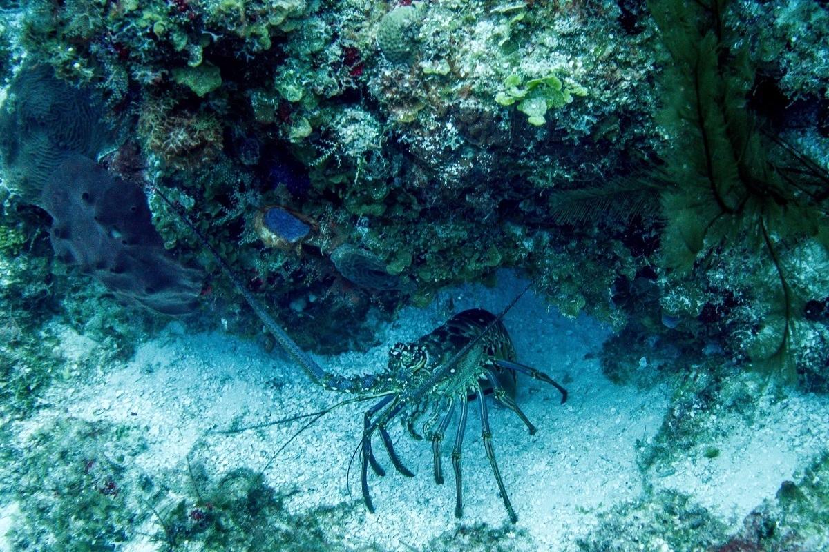 Giant lobster on sea floor
