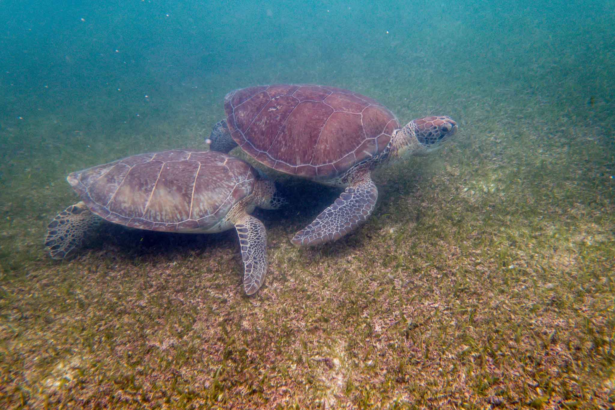 Two green sea turtles on the ocean floor