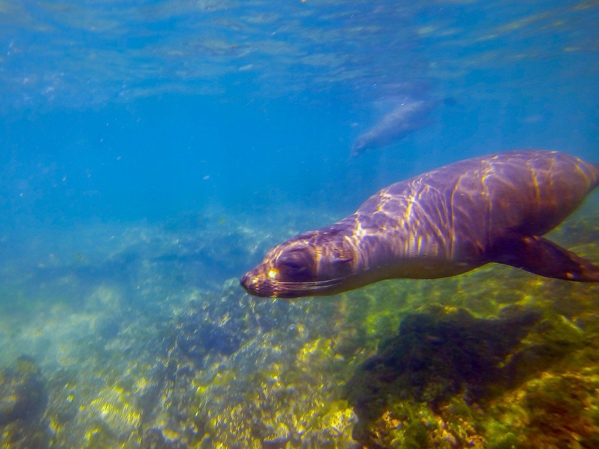 A sea lion underwater