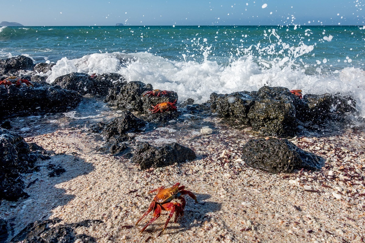 Red crabs on a beach near crashing waves