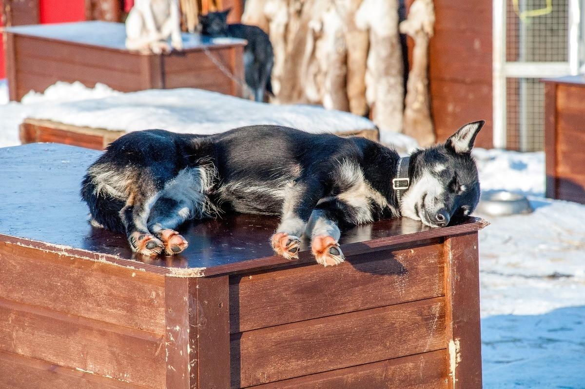 Alaskan husky relaxing in the sun at Tromso Villmarkssenter in Tromso, Norway