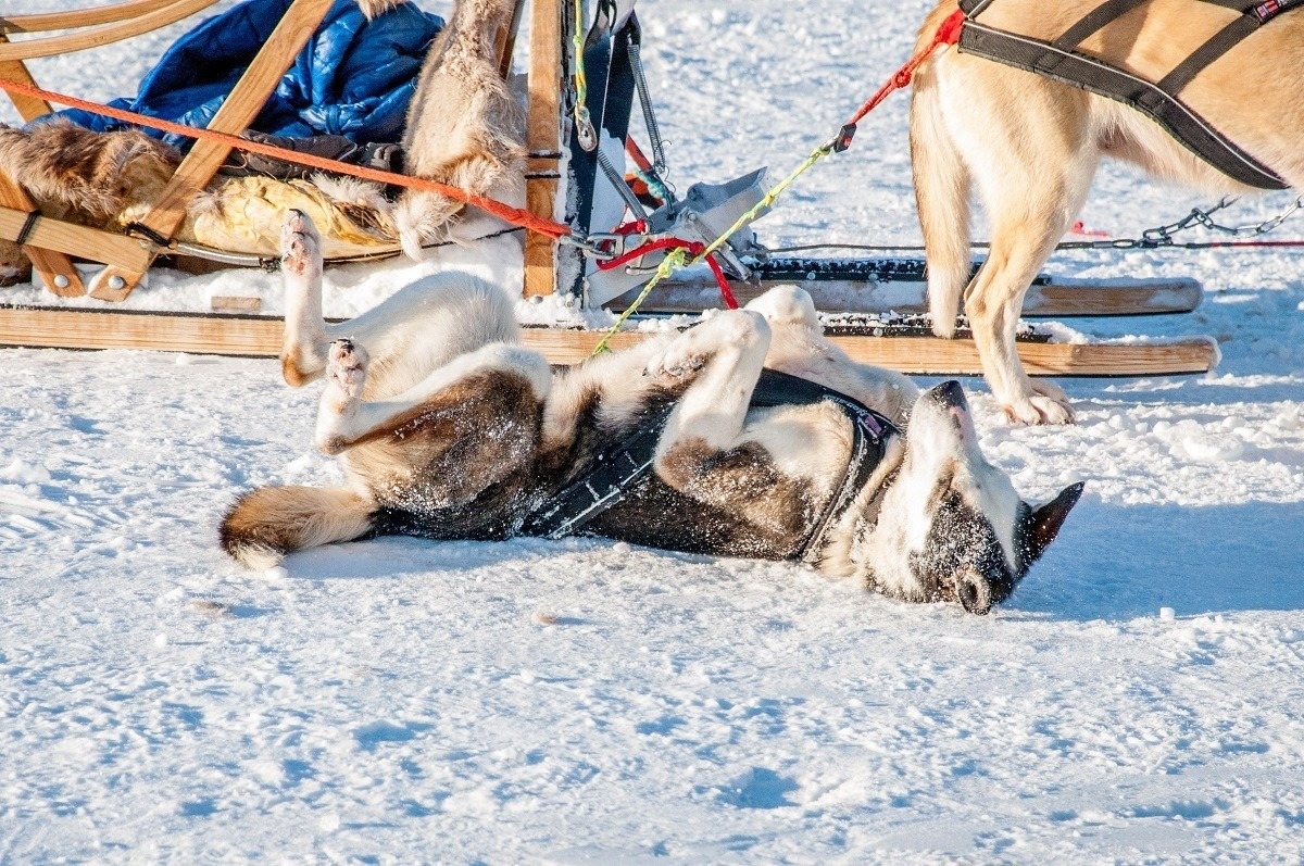 Sled dog playing in the snow