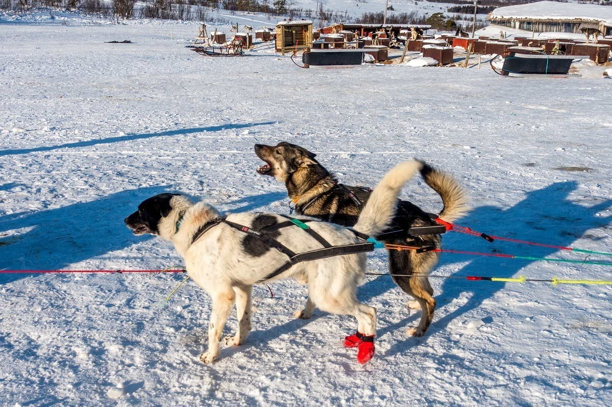 Barking dogs being hitched to a sled