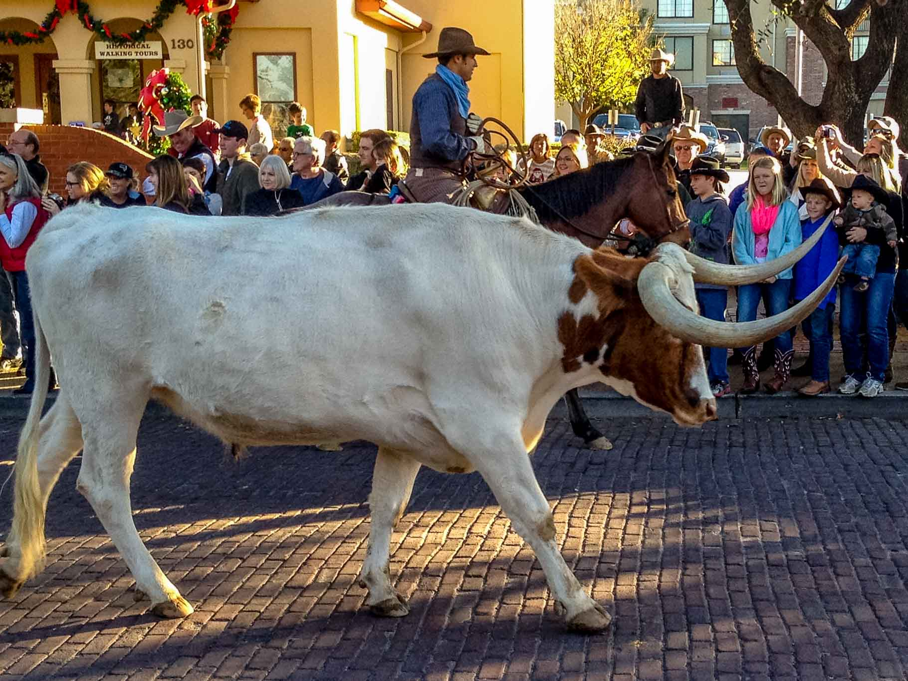 Longhorn cattle walking in the street with crowd looking on