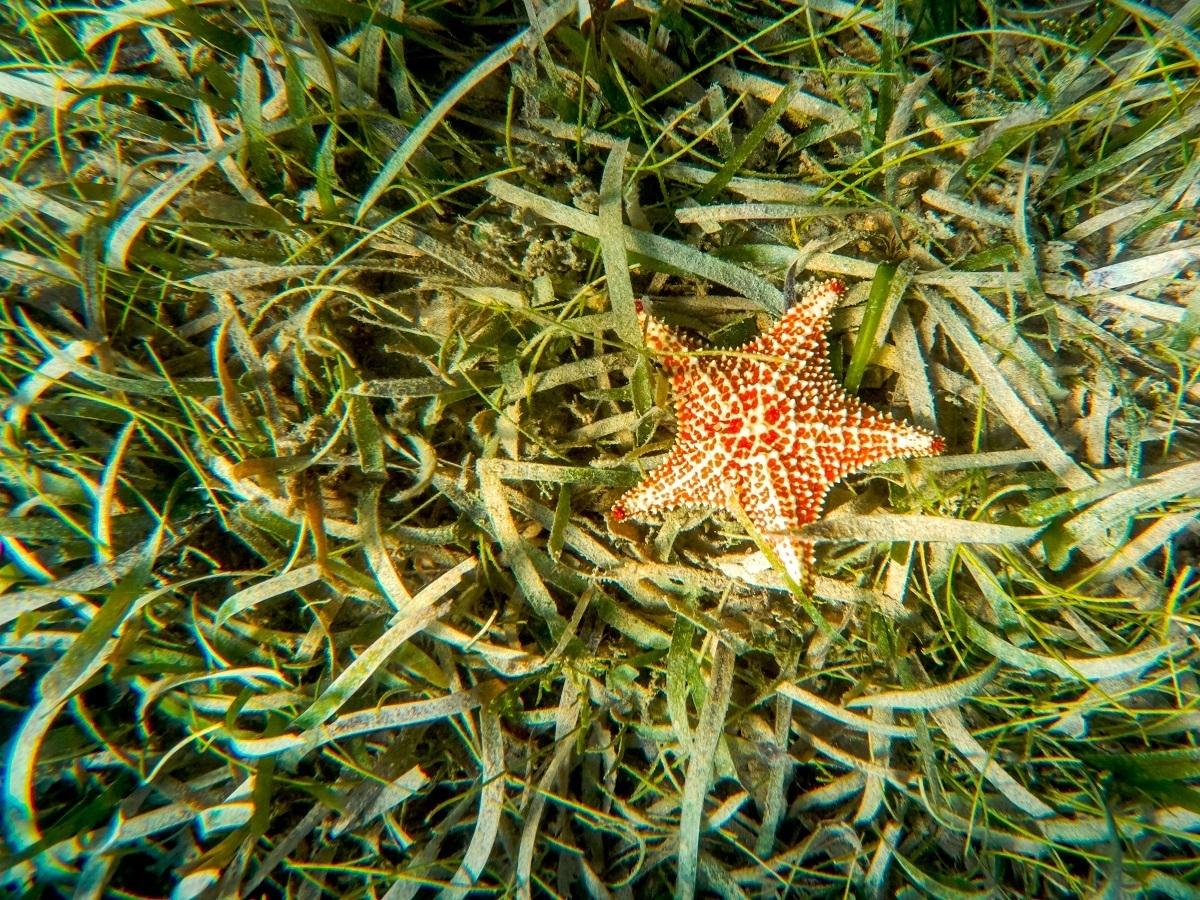 Starfish in sea grass in the ocean