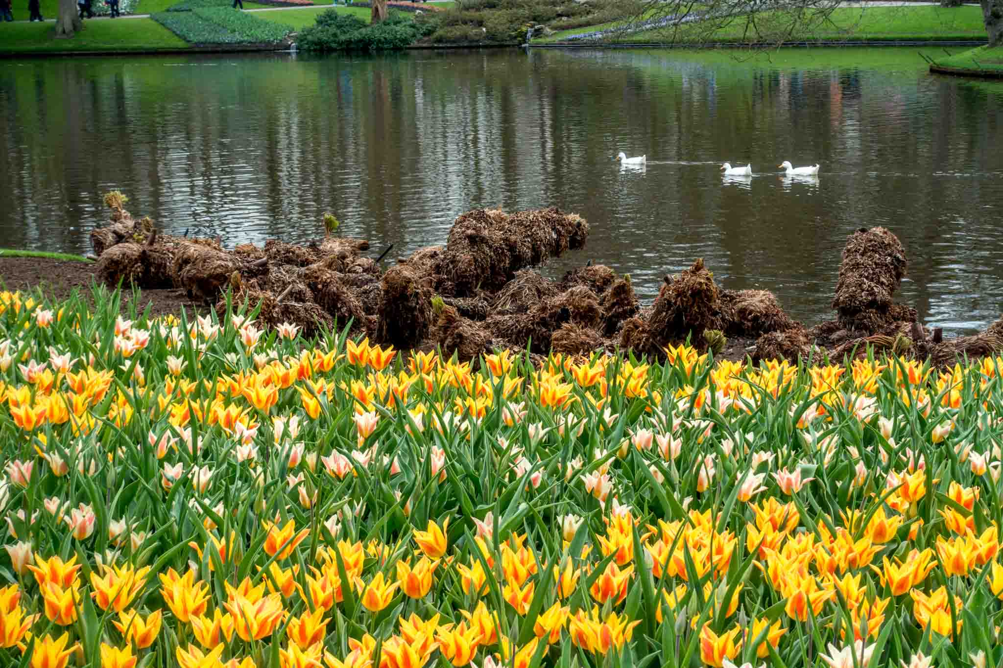 Tulips along a pond with ducks going by
