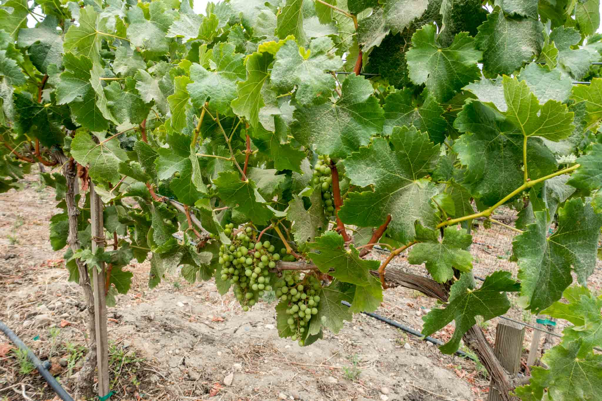 Grapes on a vine at a vineyard