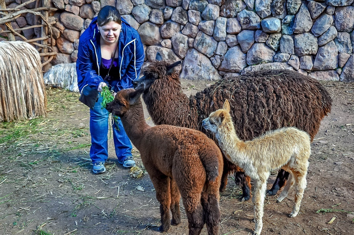 Woman feeding leaves to llamas and vicuna