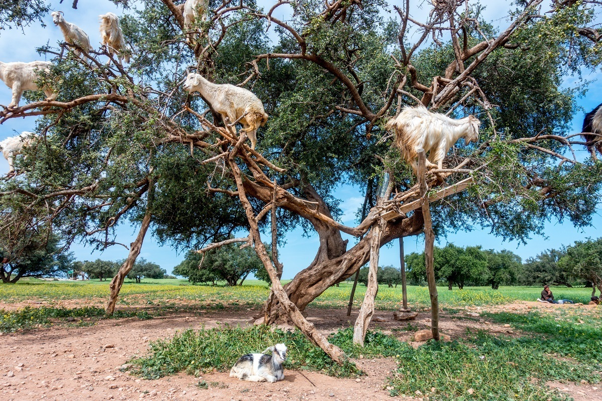 Goats in an argan tree with a kid on the ground