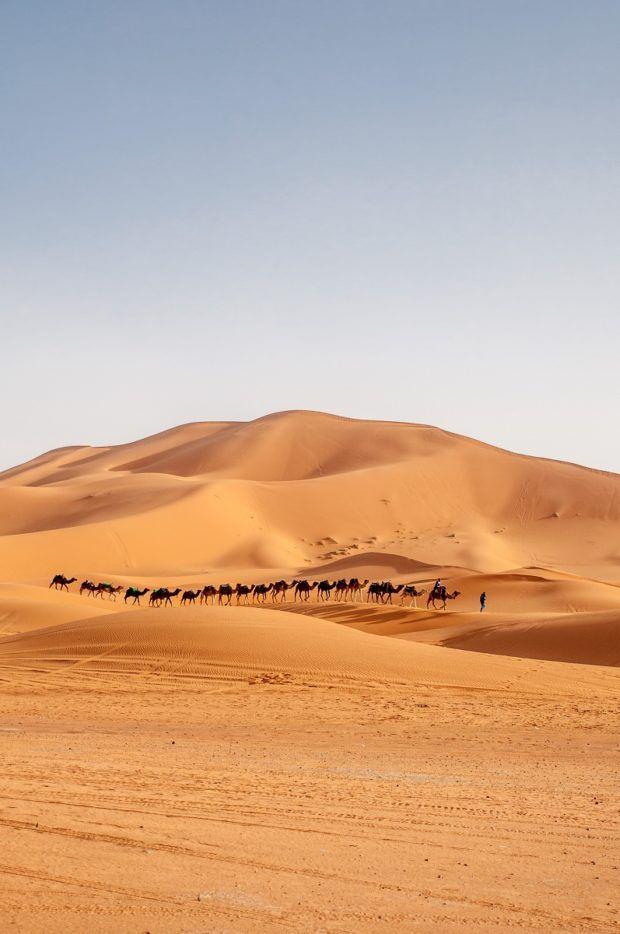 Camels walking through the Merzouga desert