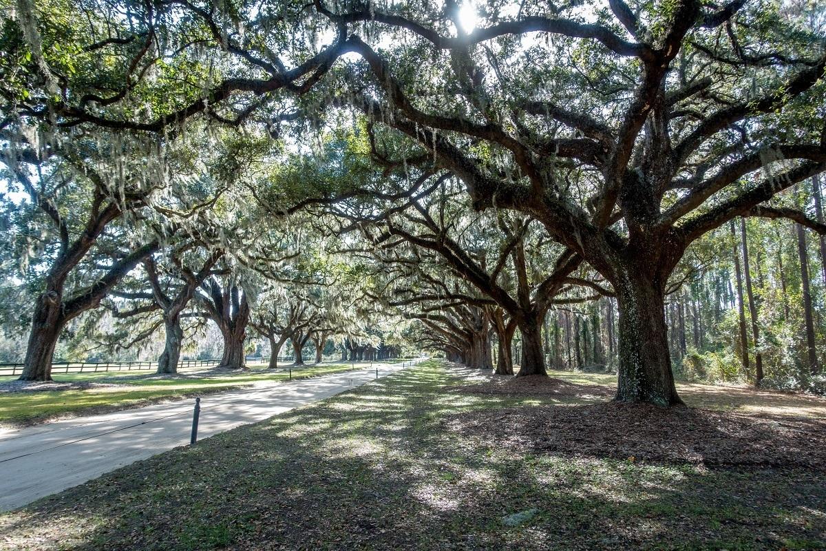 Lines of oak trees beside road