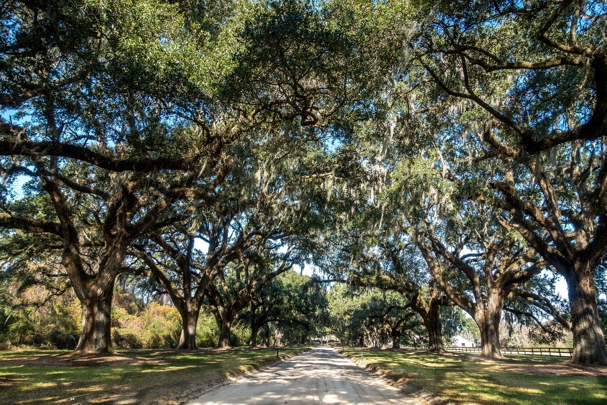Two rows of old oak trees along a driveway