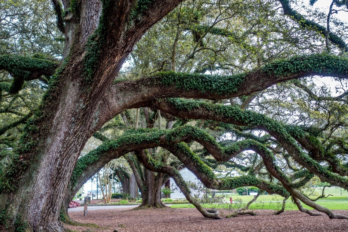 Large oak branches covered in ivy