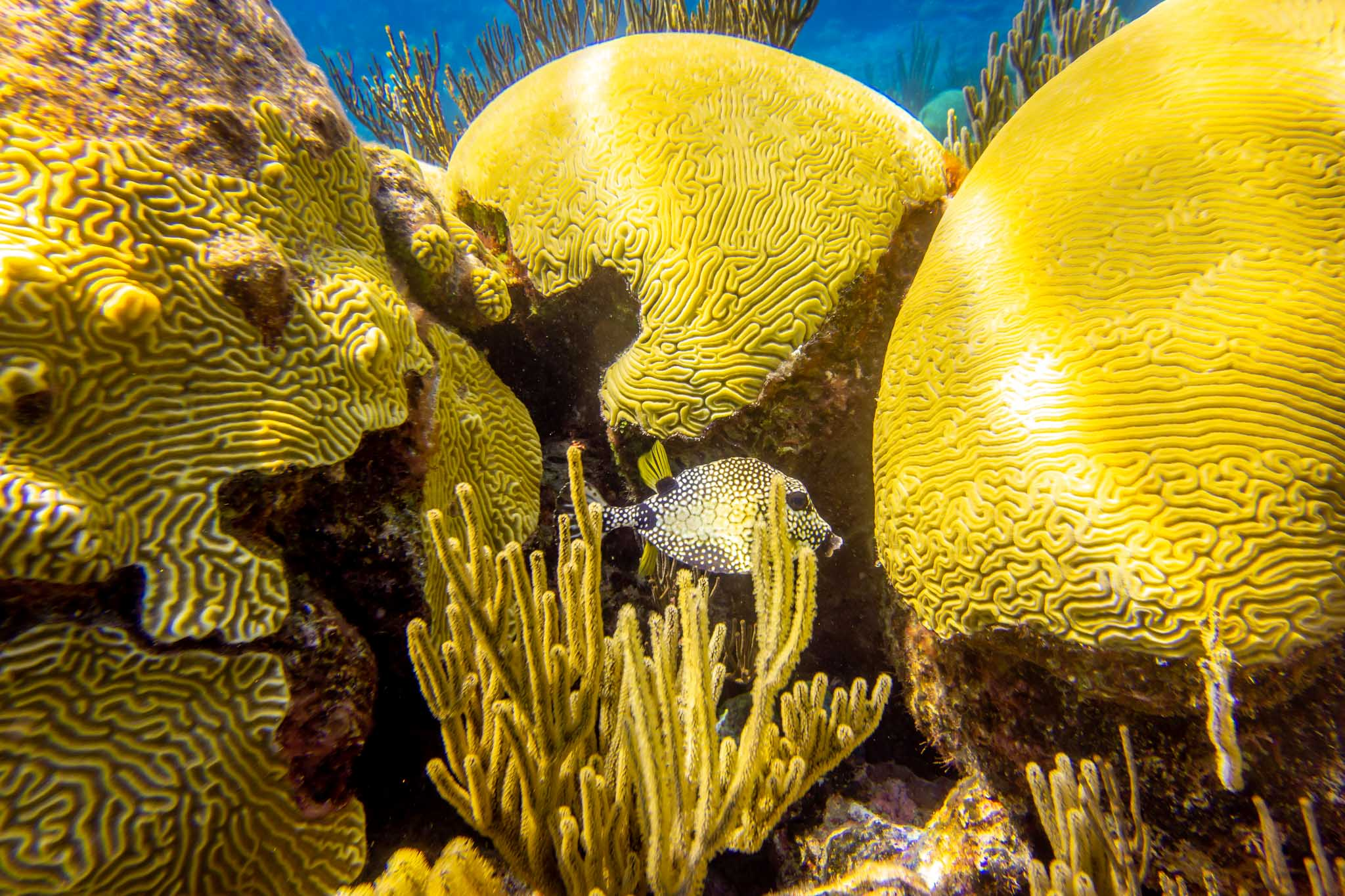 Fish swimming by yellow brain coral