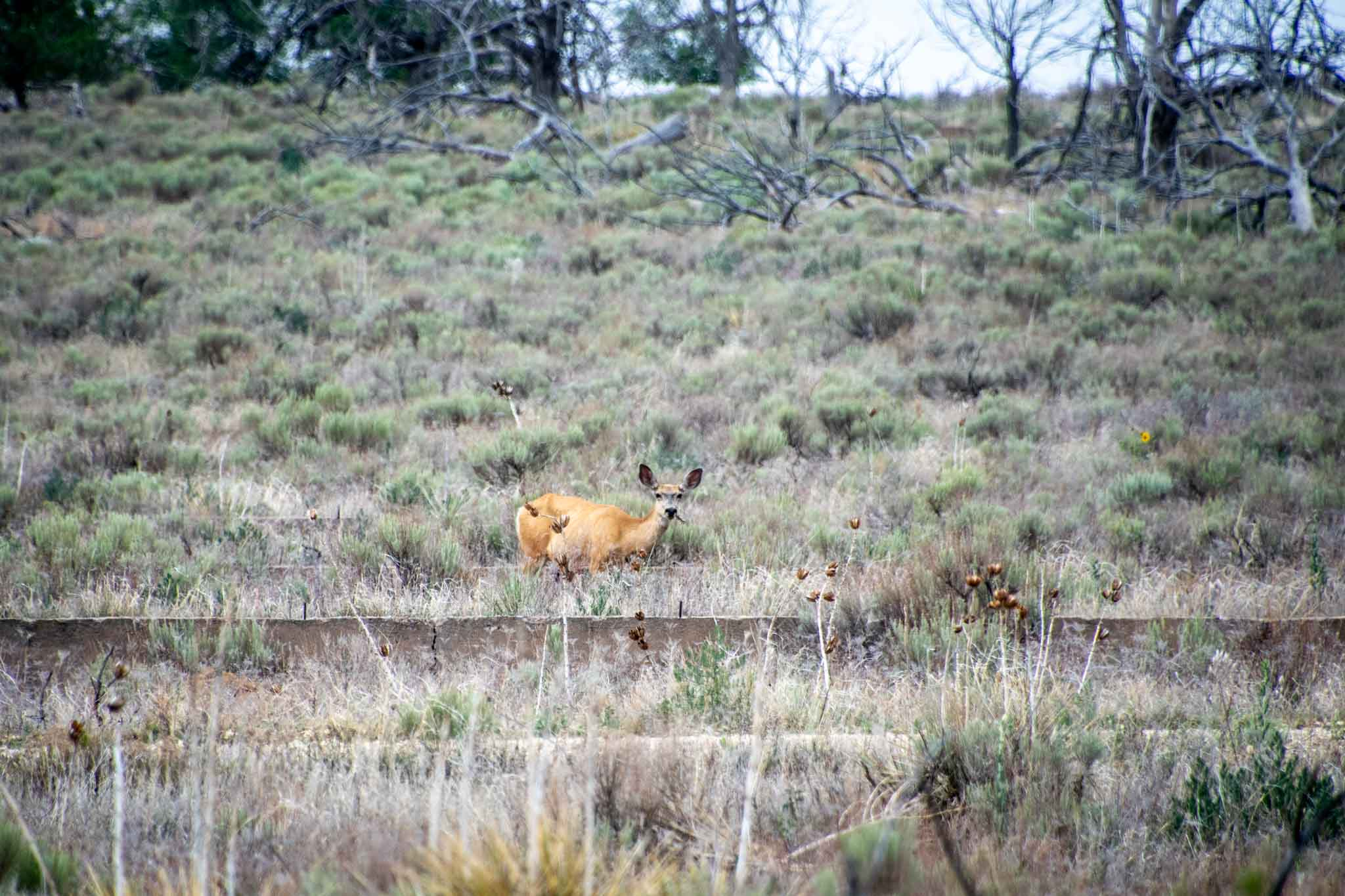 Deer grazing among the building foundations at Camp Amache