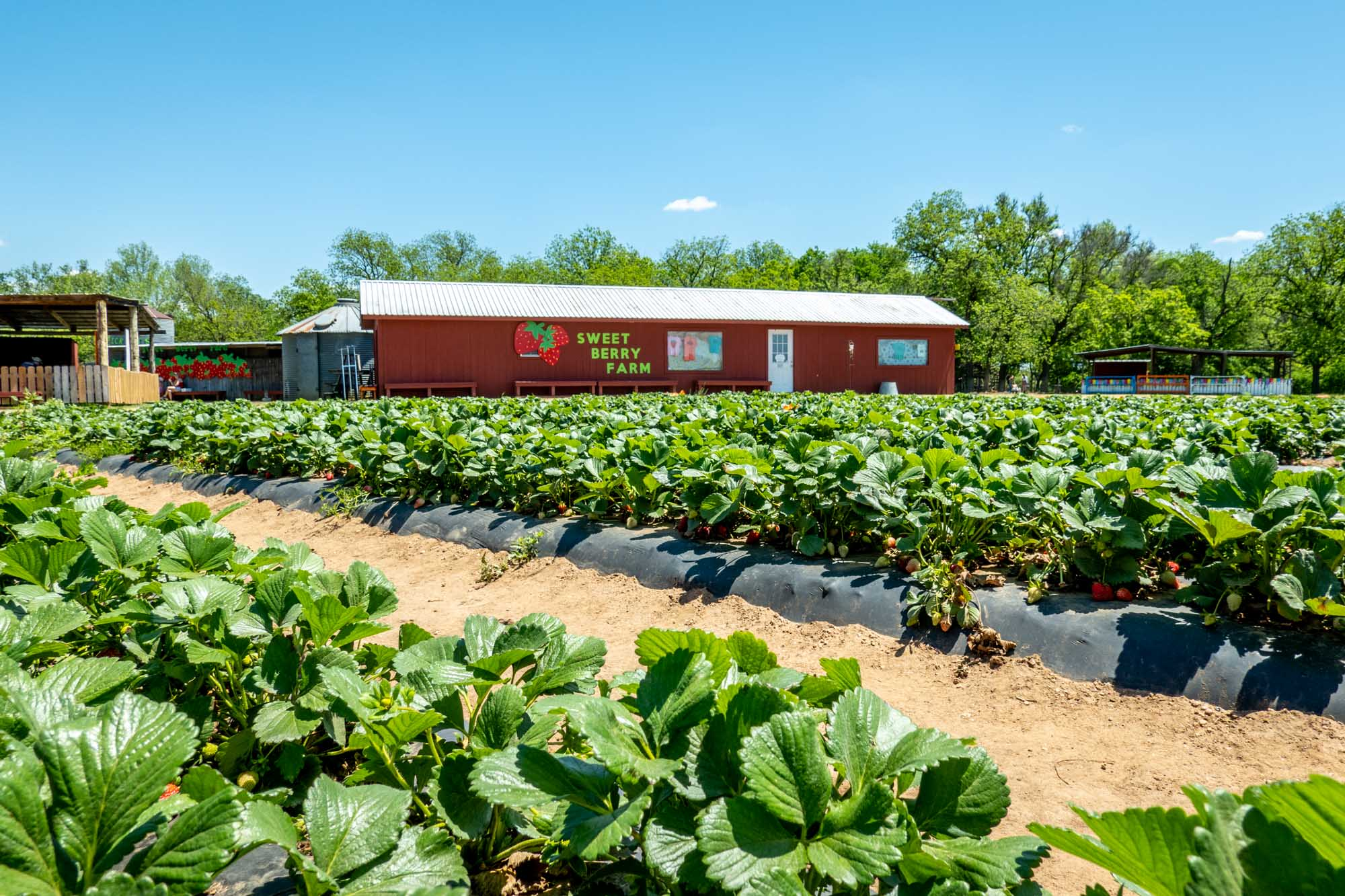 """Rows of strawberry plants in front of a red barn with a sign for """"Sweet Berry Farm"""""""