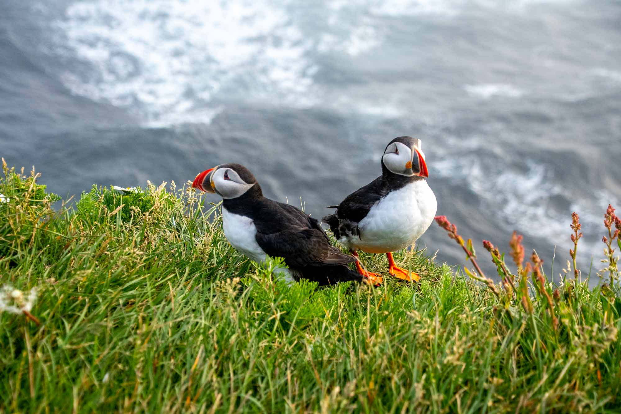 Two puffins on sea cliff